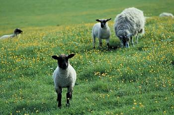 lamb.jpg.crop_display