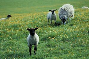 lamb.jpg.crop_display.jpg
