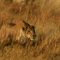 A female African lion, Panthera leo, stalking prey.