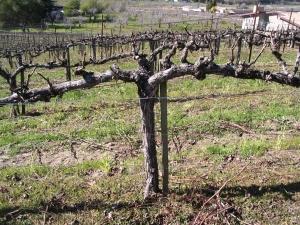 olive vine prune